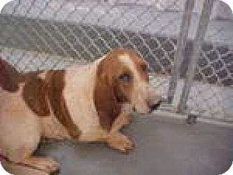 Basset Hound Dog for adoption in Charleston, South Carolina - Tulip
