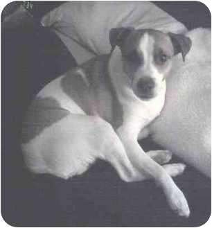 Parson Russell Terrier Dog for adoption in Haughton, Louisiana - Mickey Mouse