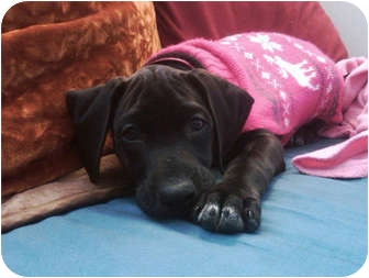 Mountain Cur/German Shorthaired Pointer Mix Puppy for adoption in Indianapolis, Indiana - Bella