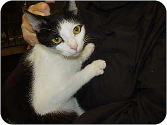 Domestic Shorthair Cat for adoption in Watkinsville, Georgia - Rosie