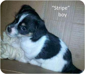 Rat Terrier/Westie, West Highland White Terrier Mix Puppy for adoption in Olive Branch, Mississippi - Stripe Boy Needs You!