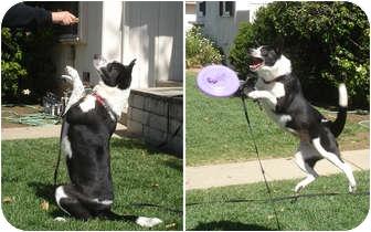 Border Collie/Australian Cattle Dog Mix Dog for adoption in San Pedro, California - TESSA