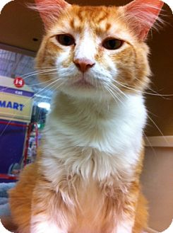 Domestic Shorthair Cat for adoption in Houston, Texas - Rusty