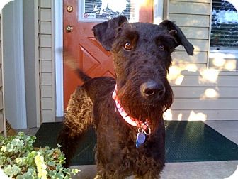 Airedale Terrier Mix Dog for adoption in Salt Lake City, Utah - Gretchen