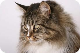 Domestic Longhair Cat for adoption in Lancaster, Massachusetts - Katie