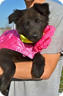 Border Collie Mix Puppy for adoption in Corpus Christi, Texas - Eboni