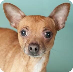 Chihuahua Dog for adoption in Chicago, Illinois - Amigo