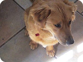 Golden Retriever Mix Puppy for adoption in Evergreen, Colorado - Cuervo