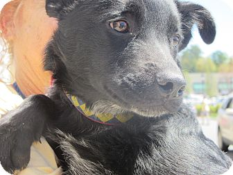 Australian Shepherd/Border Collie Mix Dog for adoption in Lincolnton, North Carolina - Peter Piper