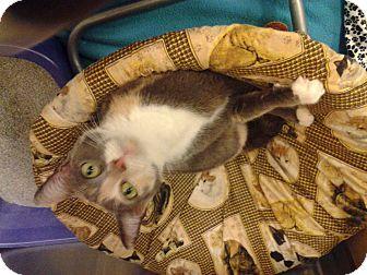 Calico Cat for adoption in Chesapeake, Virginia - Callie