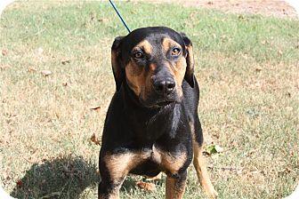 Black and Tan Coonhound/Labrador Retriever Mix Dog for adoption in Conway, Arkansas - Bruno