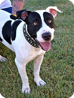 American Pit Bull Terrier/Pointer Mix Dog for adoption in Phoenix, Arizona - Oreo