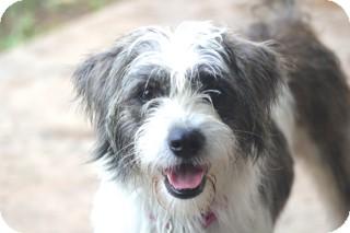 Old English Sheepdog/Terrier (Unknown Type, Medium) Mix Dog for adoption in Allentown, Pennsylvania - Adella - cats ok