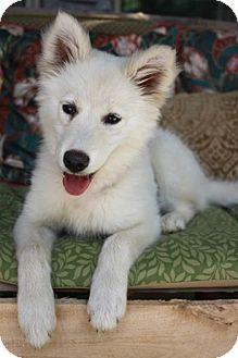Husky/German Shepherd Dog Mix Puppy for adoption in Bluemont, Virginia - PUFFIN