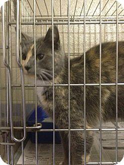 Domestic Shorthair Cat for adoption in Henderson, North Carolina - Brooke