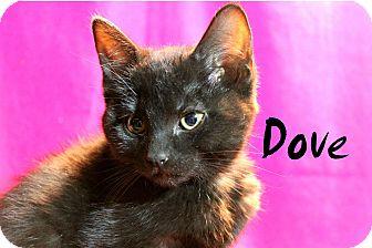 Domestic Mediumhair Kitten for adoption in Wichita Falls, Texas - Dove