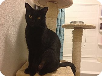Domestic Shorthair Cat for adoption in Novato, California - Toothless and Charcoal