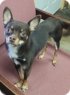 Chihuahua Mix Dog for adoption in Urbana, Ohio - Rigby