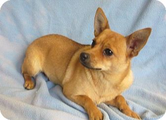 Chihuahua Mix Dog for adoption in Bartonsville, Pennsylvania - Chi Chi