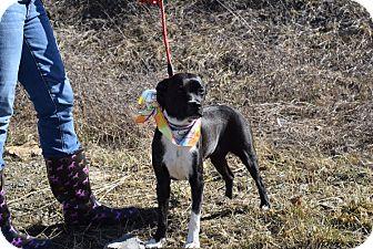 Labrador Retriever/Beagle Mix Dog for adoption in Washington, Pennsylvania - Carmel