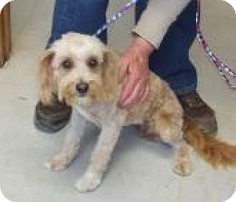 Poodle (Miniature)/Terrier (Unknown Type, Medium) Mix Dog for adoption in Silver City, New Mexico - Lucy