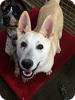 Siberian Husky/German Shepherd Dog Mix Puppy for adoption in Woodward, Oklahoma - Meeko