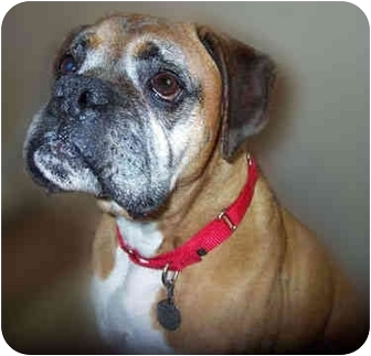 Boxer Mix Dog for adoption in San Clemente, California - ZACK