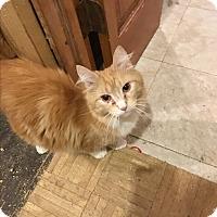 Adopt A Pet :: Perogie - Bedford Hills, NY