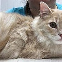 Domestic Longhair Cat for adoption in St. Louis, Missouri - Byte (bonded with Bit)
