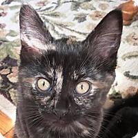 Adopt A Pet :: Tortie - Walworth, NY