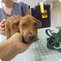 Retriever (Unknown Type) Mix Puppy for adoption in Gulfport, Mississippi - Roland