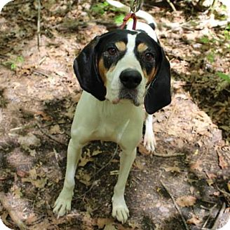 Hound (Unknown Type) Mix Dog for adoption in Hopkinton, Massachusetts - Brenda