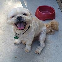 Shih Tzu Dog for adoption in Urbana, Ohio - Benjamin Turner