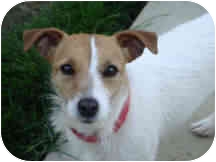 Jack Russell Terrier Dog for adoption in Proctorville, Ohio, Ohio - Muffin