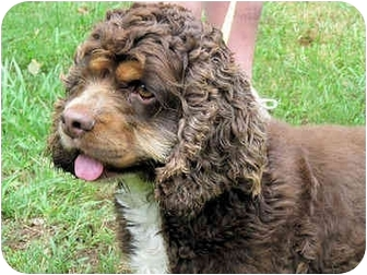 Cocker Spaniel Dog for adoption in Mahwah, New Jersey - Beau