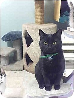 American Shorthair Cat for adoption in Bay City, Michigan - Neo