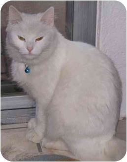 Domestic Mediumhair Cat for adoption in Mesa, Arizona - Snowball