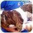 Photo 3 - English Bulldog/Boxer Mix Puppy for adoption in Chapel Hill, North Carolina - Breyer