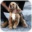 Photo 1 - Cocker Spaniel Dog for adoption in Ephrata, Pennsylvania - Bear