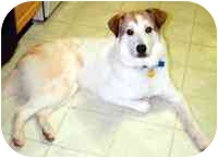 American Eskimo Dog Mix Dog for adoption in Warren, New Jersey - Pebbles