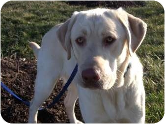 Labrador Retriever Mix Dog for adoption in Salem, Massachusetts - Percy