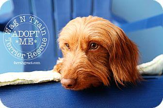 Dachshund Dog for adoption in Omaha, Nebraska - Nigel-pending adoption