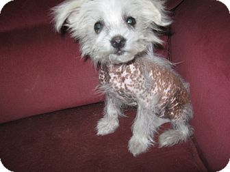 Chinese Crested/Poodle (Toy or Tea Cup) Mix Puppy for adoption in Wauseon, Ohio - Little Man