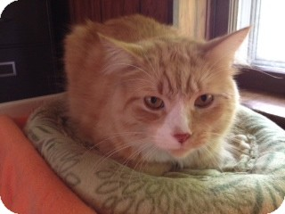 Manx Cat for adoption in Byron Center, Michigan - Chubbs
