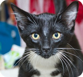 Domestic Shorthair Kitten for adoption in Sacramento, California - Max D