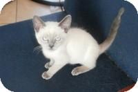 Siamese Kitten for adoption in Tampa, Florida - Baby