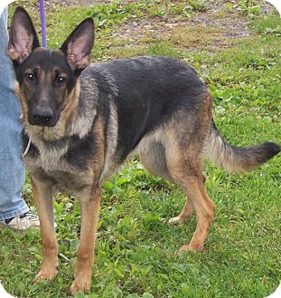German Shepherd Dog Dog for adoption in Tully, New York - PAX
