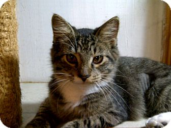 Maine Coon Cat for adoption in Bradenton, Florida - Whisper