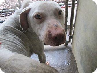 Pit Bull Terrier/Labrador Retriever Mix Dog for adoption in Henderson, North Carolina - Mary