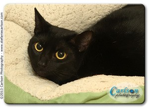 Domestic Shorthair Cat for adoption in Yorba Linda, California - Lilly